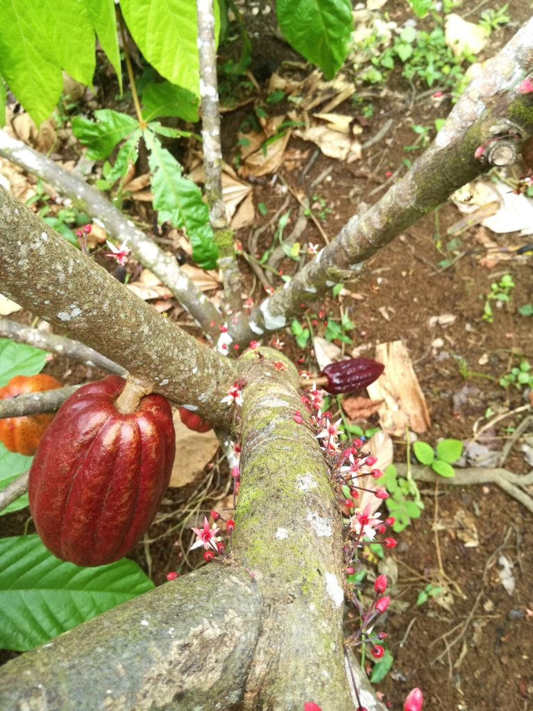 Cacao Pod & Flowers